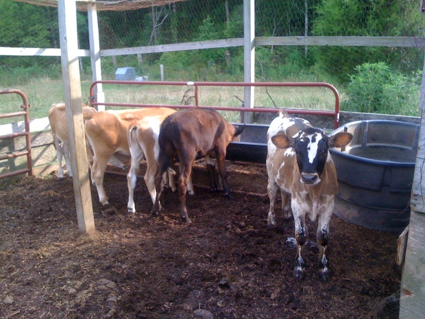Calves 002